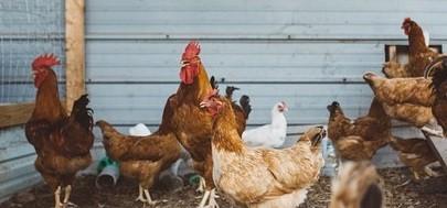 best chickens to raise