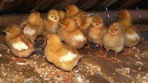 Chicken Brooder