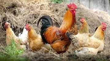 Benefits of having Backyard Chickens