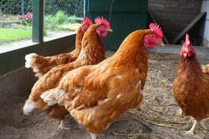 chicken feeds suppliers