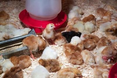 feeder chickens