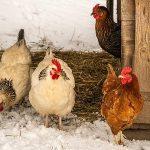 Feeding Chickens Winter