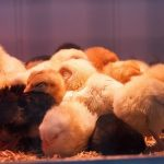Caring for baby chickens