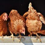 isa brown chicken eggs