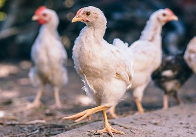 Ready to Lay Pullets