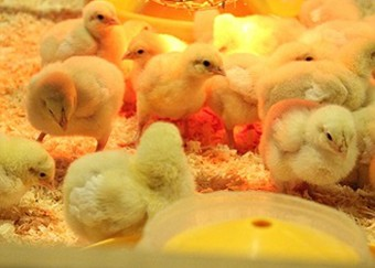 Chicken Care Products-what you need before getting your chickens