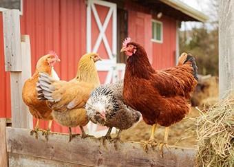 Chicken Facts