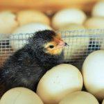 hatching chicken