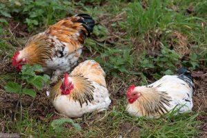 Chickens resting Garden