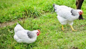 Delaware Chicken egg color