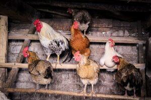 Chickens Perching