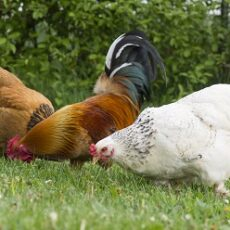 13 Interesting Facts about Chickens