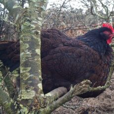 Your Guide to the Barnevelder Chicken